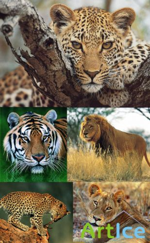 Tigers, lions, leopards, cheetah